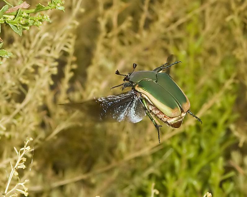 NCSU PDIC: June Beetle Time!