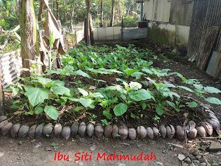 Sabut Kelapa dan Pemanfaatannya untuk Berkebun Sayuran di Halaman Rumah