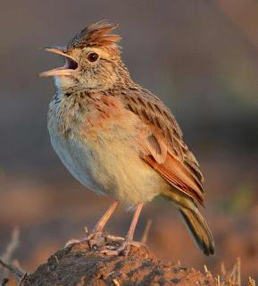 Suara Burung Branjangan Afrika