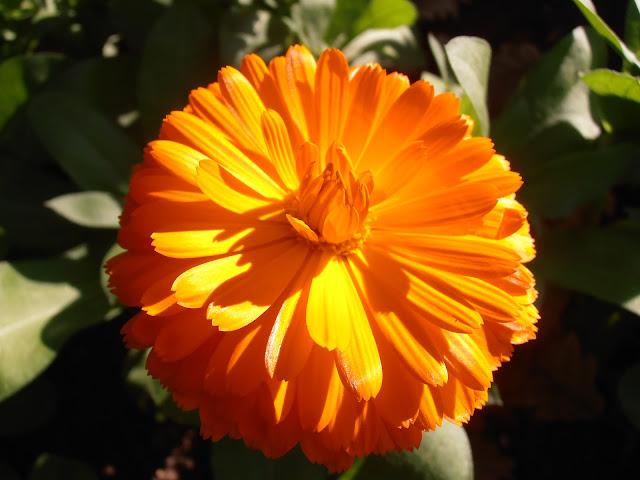 Flor de CALÉNDULA Calendula officinalis