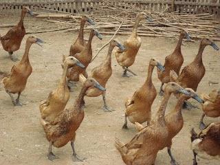 Jenis bebek ini dapat dijadikan salah satu pilihan untuk usaha itik petelur.  Produksi telur pertahun rata-rata mencapai 200 – 250 telur dengan berat  antara ... d6a59a7b1c