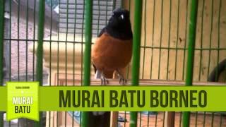 Cara Merawat Murai Batu Borneo Trotolan yang Benar