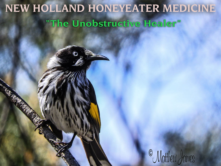 Calendar Mysteries May Magic : A light in the darkness new holland honeyeater totem
