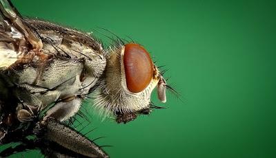 sayap lalat untuk penyembuhan
