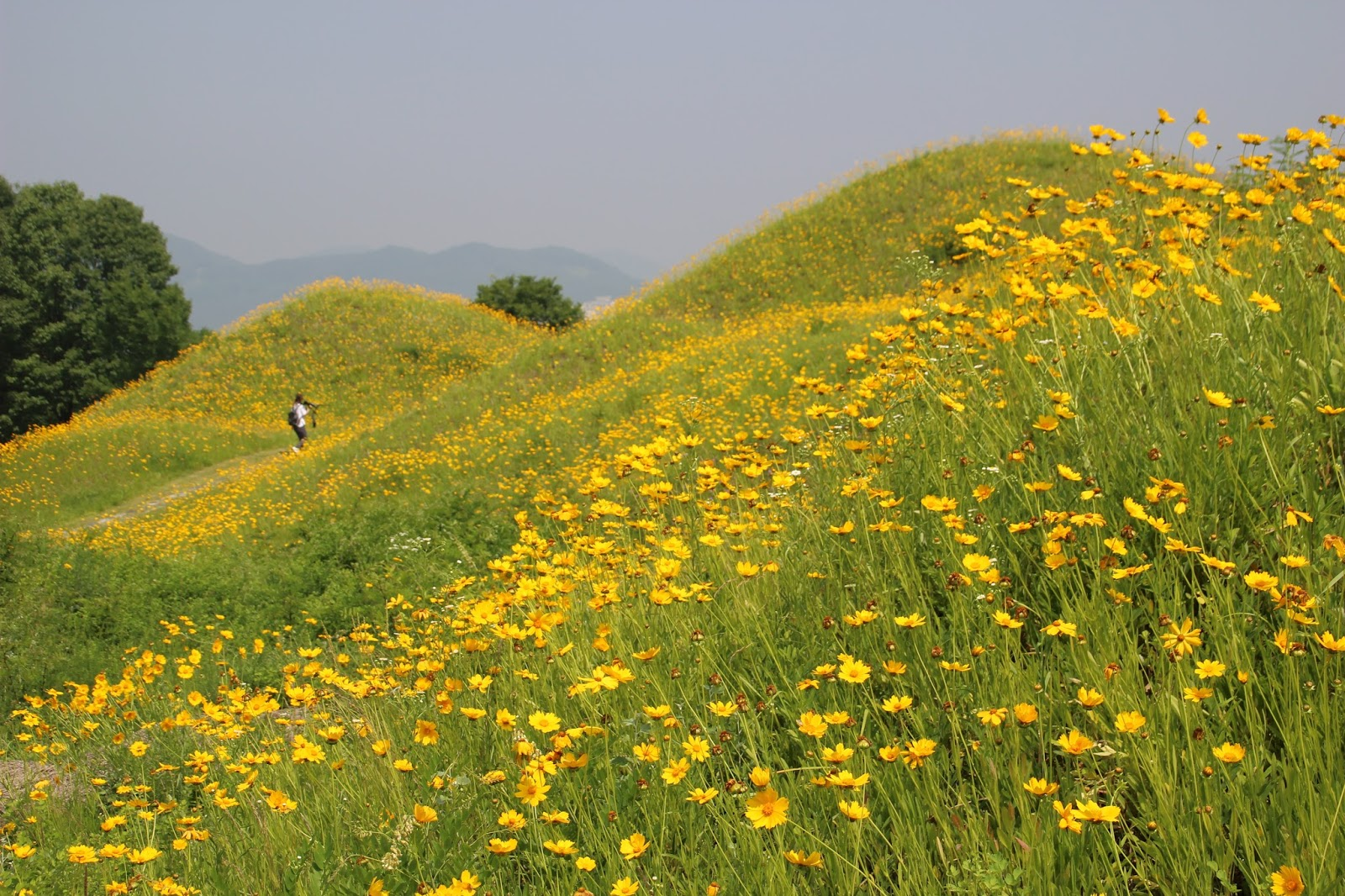 Spring In Korea Yellow Coreopsis Flowers In Bullo Dong Ancient