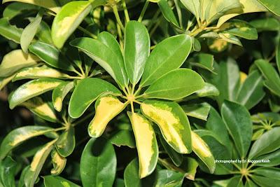 Tanaman hias Walisongo (Schefflera grandiflora)