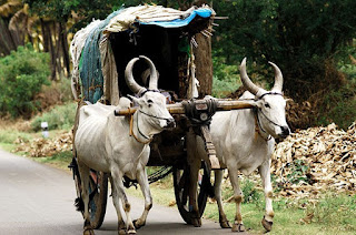 bullock cart transport