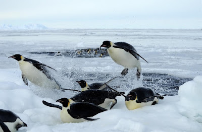 Penguins adapt and their unique features are clear, evolution-defying testimony to the work of the Master Engineer.
