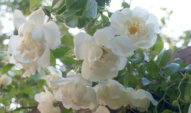 Åben have 2017 med masser af roser