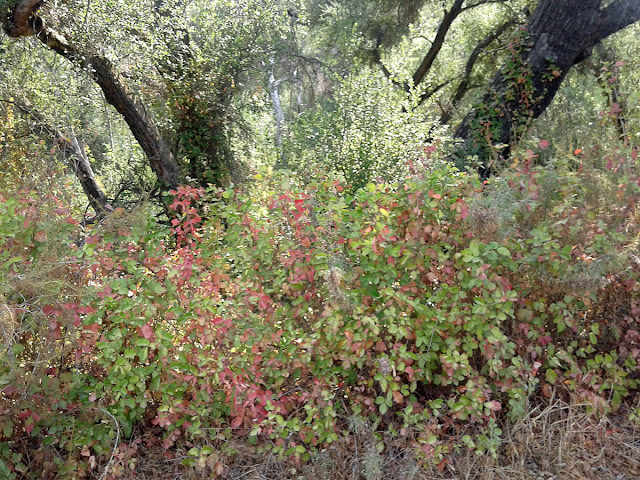 Thick patches of poison oak