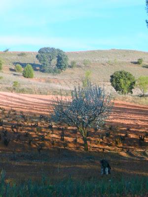 ladera con algunos árobles verdes, barbecho y viña con frutal florido en primer término