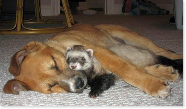 Every Day Is Special: May 5 – National Ferret Day in the U K