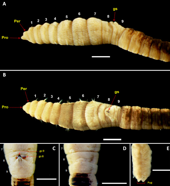 spesies baru, annelida, cacing, invertebrata