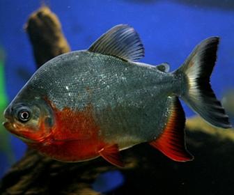 Ikan Bawal atau pomfret