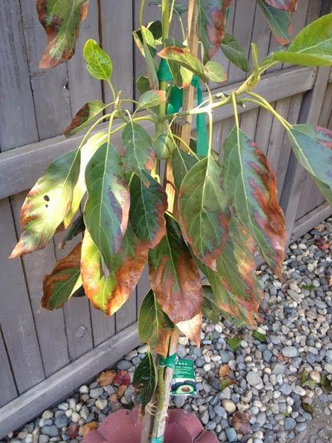 Avocado Trees In Sacramento Good Luck