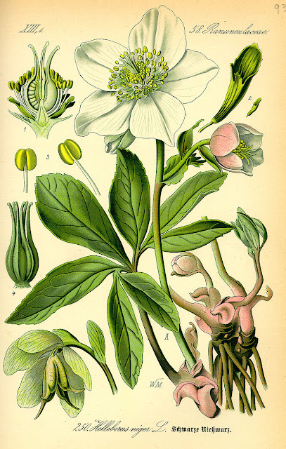 botanical drawing of a white hellebore