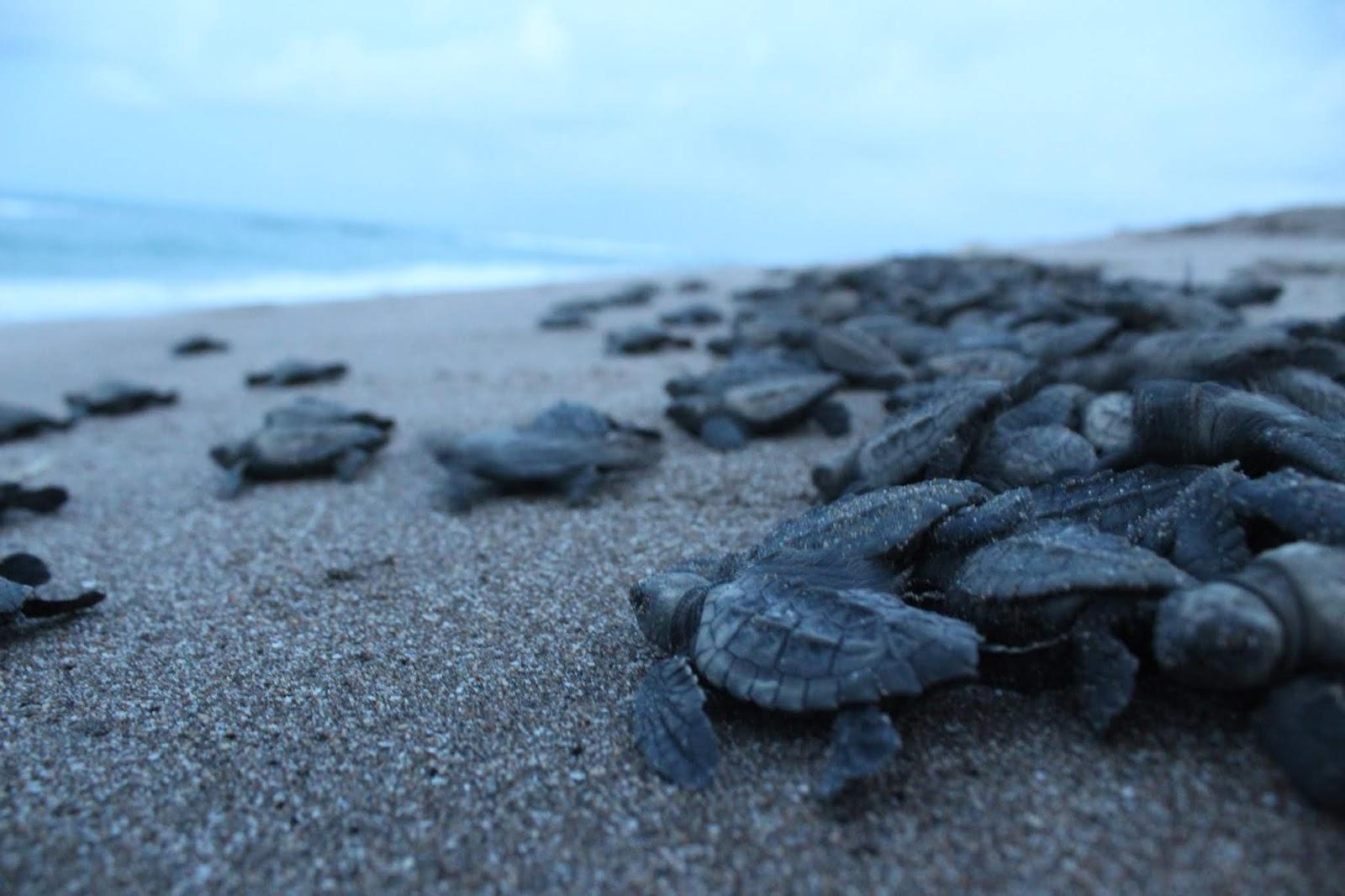 tortugas dirigiendose al mar