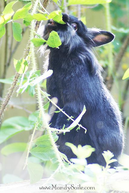 Mandy Saile, Rabbit, Garden, Roses