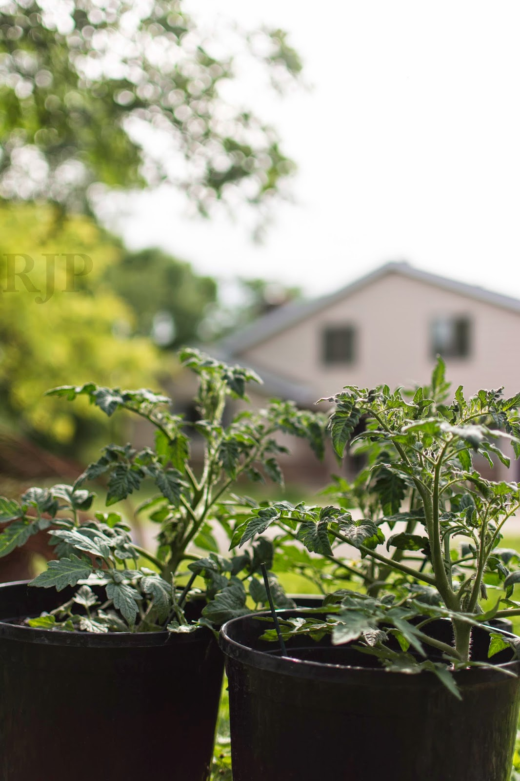Patio Tomatoes: These tomatoes can grow in the pot all season. Photo: Reed Petersen
