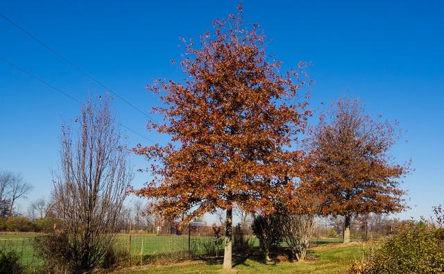 roble manchado, roble rojo de Shumard, roble rojo de pantano Quercus shumardii