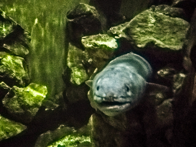 Photo of conger eel