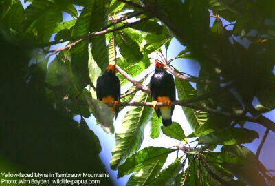 Birding Tour in Tambrauw Mountains