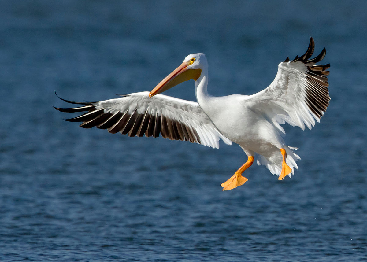 Pelicano-Branco-Americano (Pelecanus erythrorhynchos)