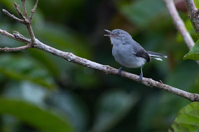 Guianan Gnatcatcher