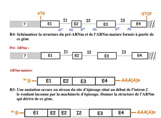 2 exercices de biologie moléculaire avec correction