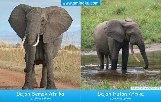 Perbedaan Gajah Semak Afrika dan Gajah Hutan Afrika