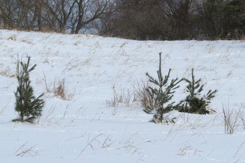 white pines