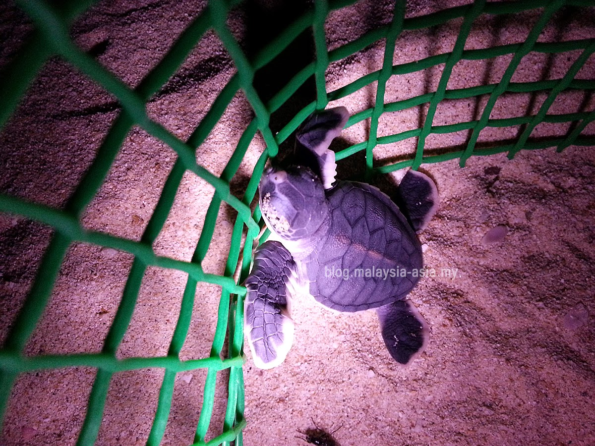 Baby green turtle photo