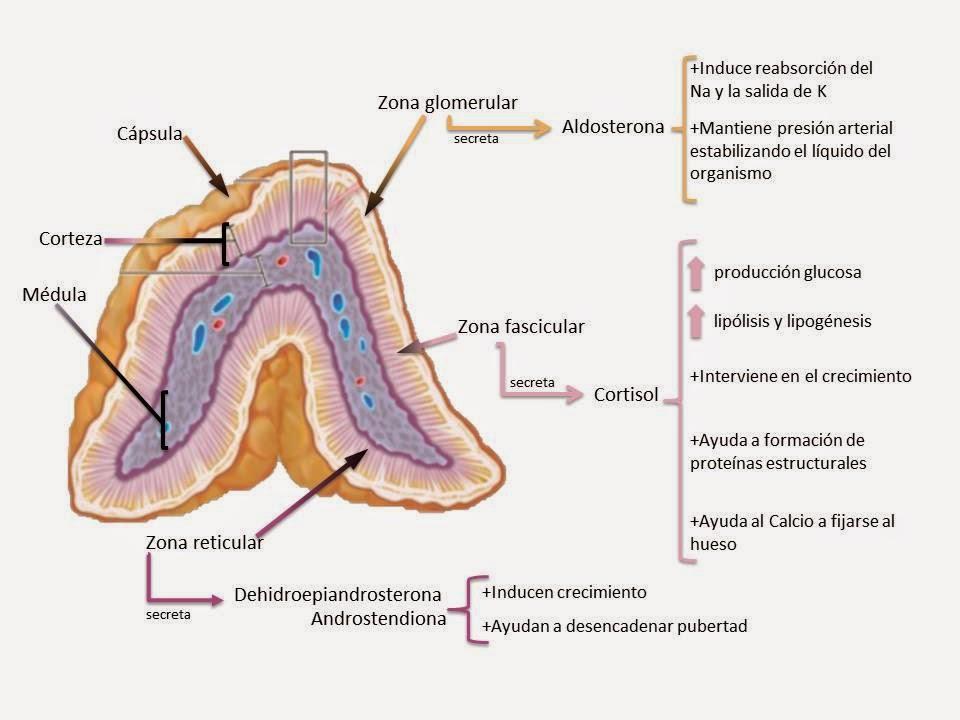 cual es la funcion de la hormona aldosterona
