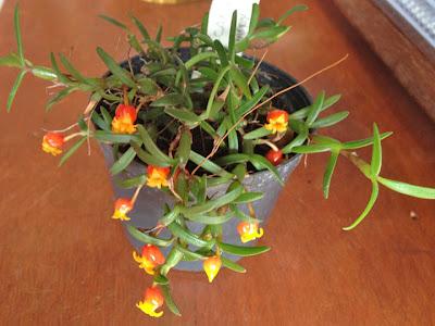 Micro-orquídea Mediocalcar decoratum