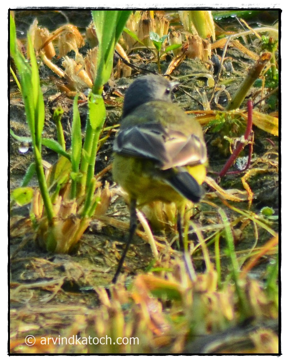 Grey-headed Yellow Wagtail