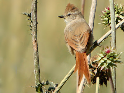 Brown capped Tit Spinetail