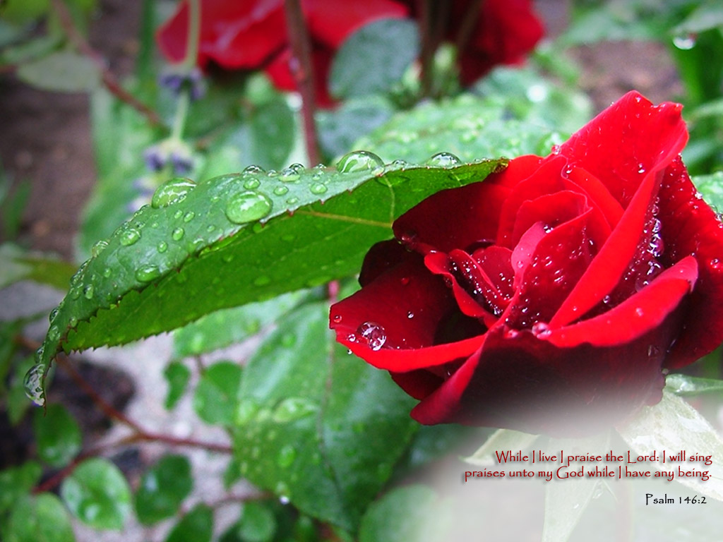 red roses wallpapers - photo #31