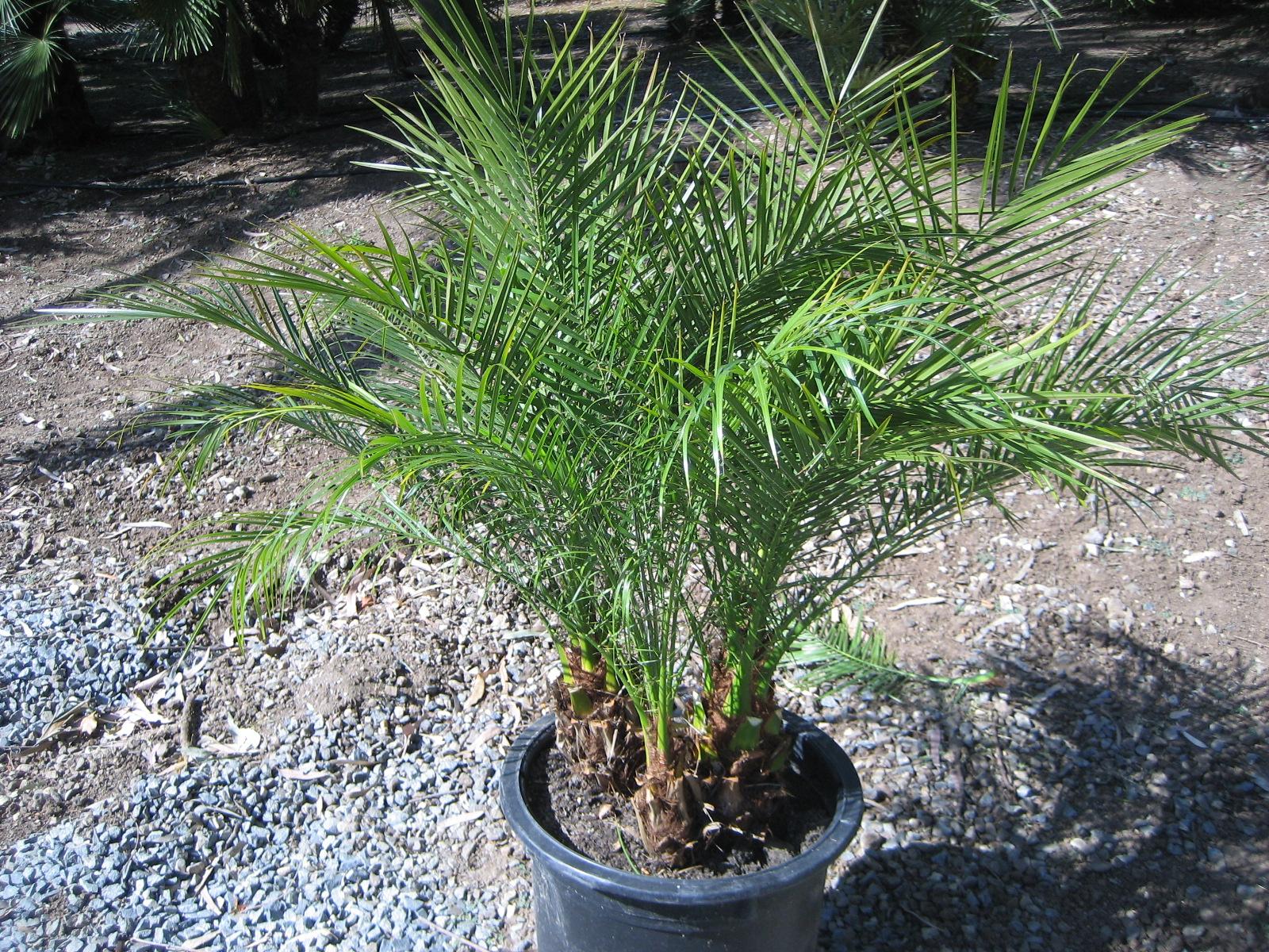 Pygmy date palm in Australia