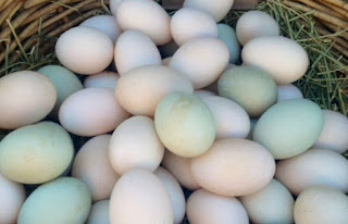 duck eggs,healthy duck eggs,diffrent breads of eggs,high bread eggs