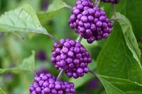 Kansa Oil Ingredient - Beautyberry Callicarpa Macrophylla
