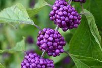 Kansa Oil Ingredient - Beautyberry Callicarpa Macrophylla