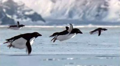 Flying Adélie Penguins filmed by the BBC