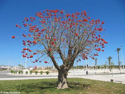 Sangrando en verde erythrina caffra el rbol del coral for Cafres este jardin