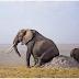 Bila Gajah Gatal Ponggong Inilah Yang Di Lakukan Mereka