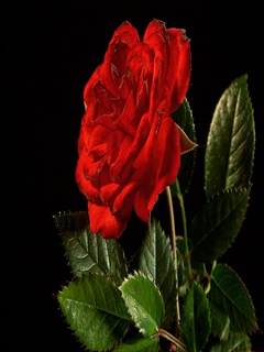Cell Phone Wallpapers: Red rose mobile wallpaper
