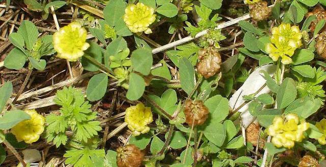 Trebol dorado y plantas leguminosas