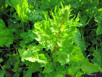 Ζαχαρότευτλα σπορά φύτεμα καλλιέργεια