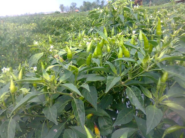 Cabe Rawit Jengki Tumbuh Subur di Lahan Pertanian