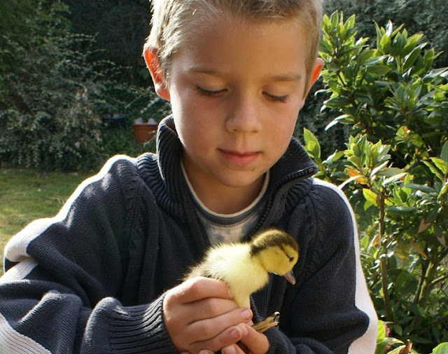 Boy with duckling at Eco-Gites of Lenault, Normandy, France