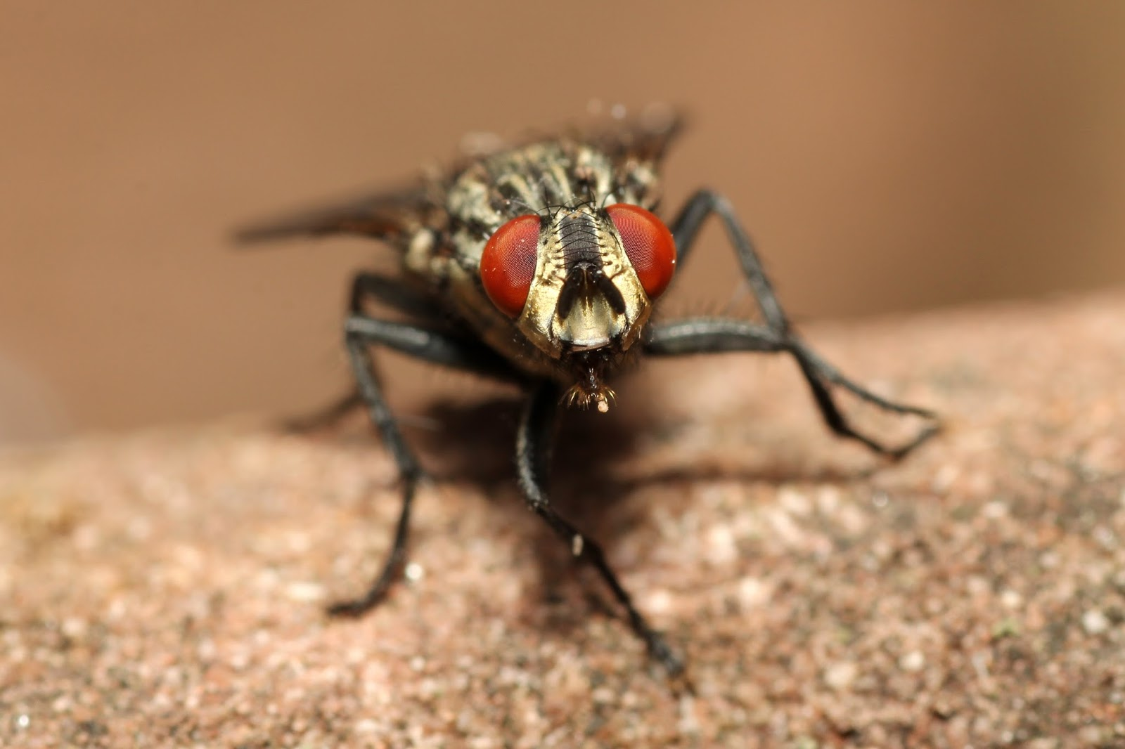 Picture of a housefly body and eyes.